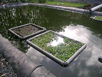 Lanikai farms of maui ecological fish breeding for Breeding pond fish